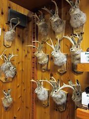 Wall Drug, South Dakota (pr0digie) Tags: wall southdakota drug store jackalope taxidermy rabbit horns