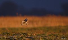 Velduil - Short-eared Owl - Asio flammeus -2437 (Theo Locher) Tags: velduil shortearedowl sumpfohreule hiboudesmarais asioflammeus vogels birds vogel oiseaux belgie belgium copyrighttheolocher