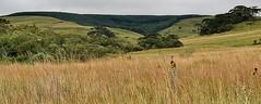 contrastes: mata nativa x reflorestamento de pinus (jakza - Jaque Zattera) Tags: cambará cerca passarinho capim dourado