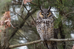 Long-Eared Owl (Jesse_in_CT) Tags: longearedowl nikon200500mm