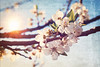 Blossoms (Sareni) Tags: sareni serbia srbija vojvodina banat juznibanat alibunar blossoms cvet grana branche sun sunce texture light svetlost boje sky nebo spring prolece march 2017 twop
