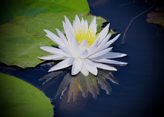 Front and Center (pattyannemac) Tags: waterlily flower whiteflower waterflowers reflection
