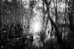 Breakthrough (Gift of Light) Tags: rayong thailand day morning nature garden landscape trees woods forest water fluid reflection reflex sun sunlight sunrise blackandwhite sonyalpha alpha sonya7rii sonya7rmkii a7rii a7rmkii sonyfe2470mmf28gm fe 2470mm f28 gm 247028 282470
