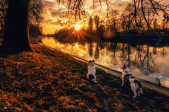 Bewildered... (Kerriemeister) Tags: max maxandpaddy paddy jack jackrussellterrier russell terrier terriers brothers york river ouse walk sunset sundown reflection nikon dog dogs golden hour atmosphere landscape