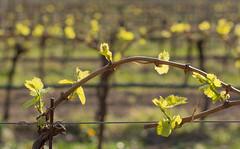 Vigna in Primavera (lorenzapanizza) Tags: vineyard spring bokeh primavera vigna contryside