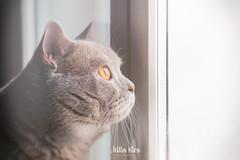 Dream on (mirri_inc) Tags: cats britishshorthair beige boy window look looking outside light stare gaze dream dreaming dreamy animal animals nikon sigma