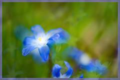 Soft Embrace (Karen McQuilkin) Tags: wildflowers chionodoxa glory of the snow wildflowerschionodoxagloryofthesnow