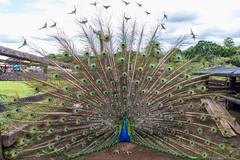 Pavo real común 2 (José M. Arboleda) Tags: ave pavo real común pluma color pavocristatus popayán colombia canon eos 5d markiv ef1635mmf4lisusm jose arboleda josémarboleda
