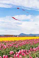 Tulip Town (Ashlyn G) Tags: canon6d tulipfestival tulip flowers springtime washingtonstate