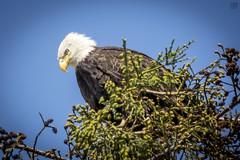 Bald Eagle on the Watch (lycheng99) Tags: watch guard baldeagle bird birdphotography tree treetop top milpitas sfbayarea sf sanfrancisco sanfranciscobayarea leaves branches nest sun