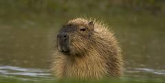 Capybara-9 (tiger3663) Tags: capybara yorkshire wildlife park