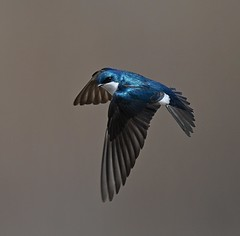 Tree Swallow in Flight (KoolPix) Tags: treeswallow bird swallow wings beak feathers koolpix jaykoolpix naturephotography jay nature wildlife wildlifephotos naturephotos naturephotographer animalphotographer wcswebsite nationalgeographic fantasticnature amazingnature wonderfulbirdphotos animal amazingwildlifephotos fantasticnaturephotos incrediblenature mothernature