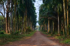 Oreodoxa Avenue (sanat_das) Tags: d800 50mm shibpur botanicalgardens howrah avenue royalpalms
