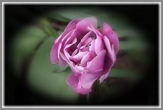 Toronto Ontario ~ Canada ~ Edwards Gardens ~ Botanical Garden ~  Rose