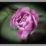 Toronto Ontario ~ Canada ~ Edwards Gardens ~ Botanical Garden ~  Rose thumbnail