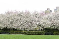 Conservatory Garden (Terese Loeb) Tags: crabappletree trees conservatorygarden urbangarden citygarden uppereastside manhattan newyorkcity newyork springtime spring bloomingtrees flowers floweringtrees pink white