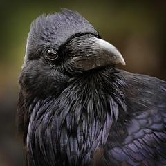 Here's Looking at You Kid (arbyreed) Tags: arbyreed raven bird blackbird ravenportrait wild wildraven feathers blackfeathers