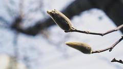 Spring (Jon-Fū, the写真machine) Tags: jonfu 2017 olympus omd em5markii em5ii em5mkii em5mk2 em5mark2 オリンパス mirrorless mirrorlesscamera microfourthirds micro43 m43 mft μft マイクロフォーサーズ ミラーレスカメラ ミラーレス一眼カメラ ミラーレス機 ミラーレス一眼 snapseed japan 日本 nihon nippon ジャパン ジパング japón जापान japão xapón asia アジア asian orient oriental aichi 愛知 愛知県 chubu chuubu 中部 中部地方 outdoors 野外 nature 自然 plant plants 植物 flora