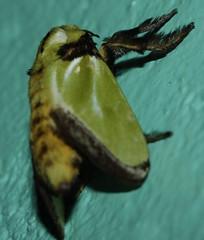 Parasa cf euchlora limacodidae (BSCG (Badenoch and Strathspey Conservation Group)) Tags: moth green lb gola forest kumbor africa limacodidae vitex light parasa