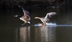 Wild Goose Chase (The Rustic Frog) Tags: canada greylag goose geese canon eos digital camera 7d mark ii 2 lens 100400mm warwickshire wildlife trust wild life reserve brandon marsh uk england central nature chase flight flying reflection water