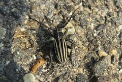 Dorcadion scopolii (aniko e) Tags: cerambycidae dorcadion dorcadionscopoli gyalogcincér nyolcsávosgyalogcincér bockkäfer longhornbeetle beetle käfer bogár insect rovar cincér hungary debrecen tócóvölgy