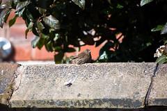 Baby robin (Andy Hay) Tags: 2017 backgarden bird lightroom lytham robin england unitedkingdom