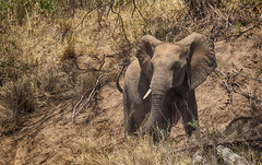 Angry At The Embankment (AnyMotion) Tags: africanelephant afrikanischerelefant loxodontaafricana elephants elefanten 2015 anymotion nyabogatiriver serengetinationalpark tanzania tansania africa afrika travel reisen animal animals tiere nature natur wildlife 7d2 canoneos7dmarkii ngc npc