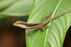 Olive Bush Anole ♂ Anolis krugi (Roger Wasley) Tags: olive bush anole male anolis krugi tj ranch puerto rico lizard west indies caribbean tropical neotropical