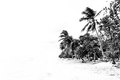 Summer whiteout (cwaersten) Tags: summer white black whiteout palm tree trees island caribbean bw simplicity highlight blown nikon d90 beach nopeople waterfront vacation destination travel outdoor outdoors outside