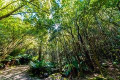 Forest in Hobart, Tasmania (Theresa Hall (teniche)) Tags: 2017 australia canberra tasmania teniche theresahall trees waterfall canoncollective nikond750 samyang14mm forest hobart sunburst