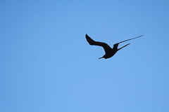 Canon2017.03.17 2810 (seahorse19911) Tags: birds brittanyanddadsvisit canon20170317 drytortugas florida floridakeys magnificentfrigatebird