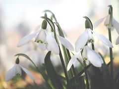 A promise (velvetmeadow) Tags: snowdrops springflowers flowers whiteflowers snieguolės spring springmorning fresh pavasaris bokeh plant promise velvetmeadow