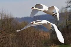 Mute Swan 250317 (1) (Explored) (Richard Collier - Wildlife and Travel Photography) Tags: birds british wildlife naturalhistory birdsinflight flying muteswan naturethroughthelens