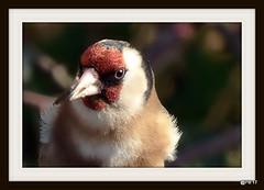 Portrait: Goldfinch Garrulous  garrulous (postman.pete) Tags: wicked weasel mygarden crow great lumix spring tit cat dove bird prey gull black sparrow goldfinch portrait wickedweasel