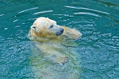 Polar bear swimming in water (♥Oxygen♥) Tags: bear polar wet white head face predator water nature animal wildlife mammal north fur swim ecology hunter northern coat arctic fauna antarctic swimmer zoo wild exotic big blue closeup cold cute danger ice one sea species standing swimming nose green surface heavy ursus bathing dangerous powerful marine hair ear ocean