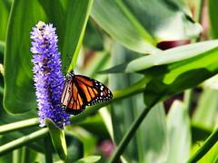 Papillon, volez. (Guerrier !) Tags: lecarbet martinique anselatouche