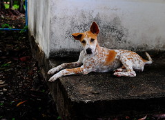 ,, Little Freckles ,, (Jon in Thailand) Tags: freckles puppy littlefreckles happydog gooddog jungle blue green nikon d300 nikkor 175528 ears tail nose eyes paws fundog brown spots littledoglaughedstories