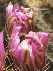 Desert Bud (Divinity Unedited) Tags: desertflora flower desertflower flowerbud sonorandesert