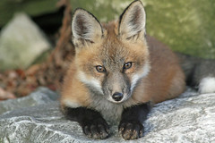 Baby Blackface (marylee.agnew) Tags: red fox innocent young kit baby cute canine urban wildlife nature outdoor