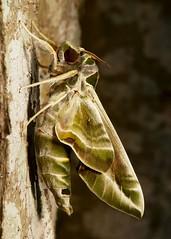 Oleander Hawk Moth (Daphnis nerii, Sphingidae) (John Horstman (itchydogimages, SINOBUG)) Tags: insect macro china yunnan itchydogimages sinobug moth lepidoptera hawk sphinx sphingidae oleander topf25 tumblr entomology
