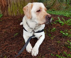 Gracie chillin under a tree (walneylad) Tags: gracie dog canine pet puppy lab labrador labradorretriever cute spring april