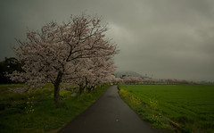 Scene to come every spring. (Yasuyuki Oomagari) Tags: rural countryside cherryblossoms cherry sakura rainy pink yellow spring cloudy cloud bloom nikon d810 distagont2821 zeiss carlzeiss