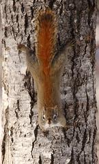 IMG_0730 Écureuil roux, Sainte-Hedwidge (joro5072) Tags: animal nature écureuil squirrel
