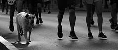 champ (negrominay) Tags: santiago chile city urban marathon running people dog sports morning carrera maratón bw blackandwhite mono monochrome canoneos7d perro pies correr deportes blancoynegro street calle runner