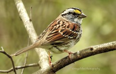 White Throated Sparrow (AngelVibePhotography) Tags: sparrow spring animal nikon birds macro springtime nikonp900 northcarolina outdoors nature closeup whitethroatedsparrow photography outdoor depthoffield bird