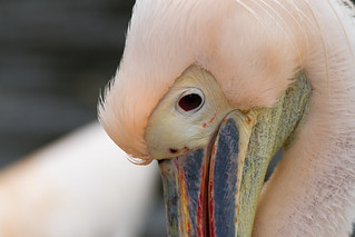 Pelican after washing in the pool