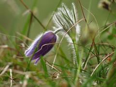 IMG_4702 (germancute) Tags: nature outdoor kanzel plant wildflower flower blume landscape landschaft thuringia thüringen germany germancute wald wiese