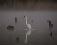 Stumphenge (gseloff) Tags: greategret bird dawn fog wildlife horsepenbayou pasadena texas kayakphotography gseloff