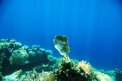 Se non guardi dove nuoti, rischi di prendere padellate in testa (Landersz) Tags: philippines filippine coron palawan club paradise snorkeling turtle shark clownfish nemo dugong landersz canon 5dmk3 nimar gopro hero5
