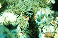 Pesce pagliaccio di clark - Clark's clownfish (Landersz) Tags: philippines filippine coron palawan club paradise snorkeling turtle shark clownfish nemo dugong landersz canon 5dmk3 nimar gopro hero5